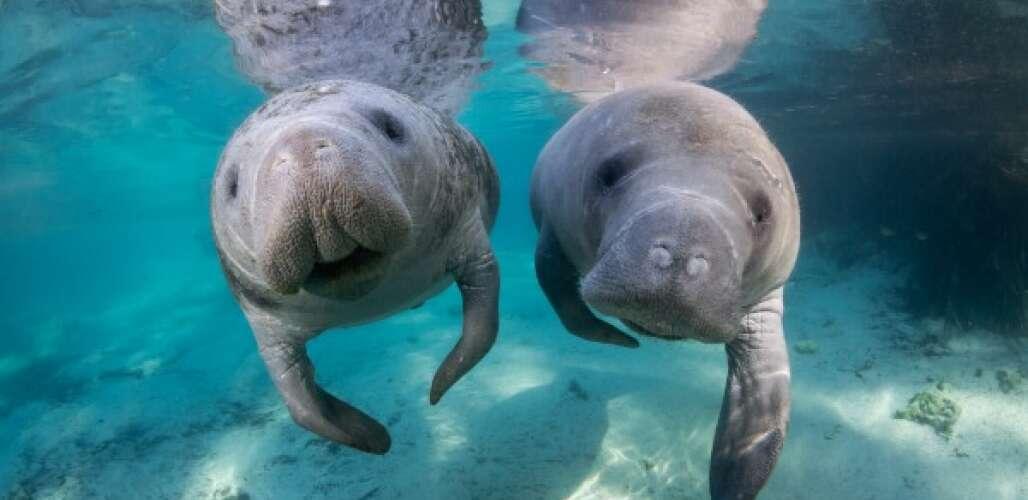Dos manatíes nadan.