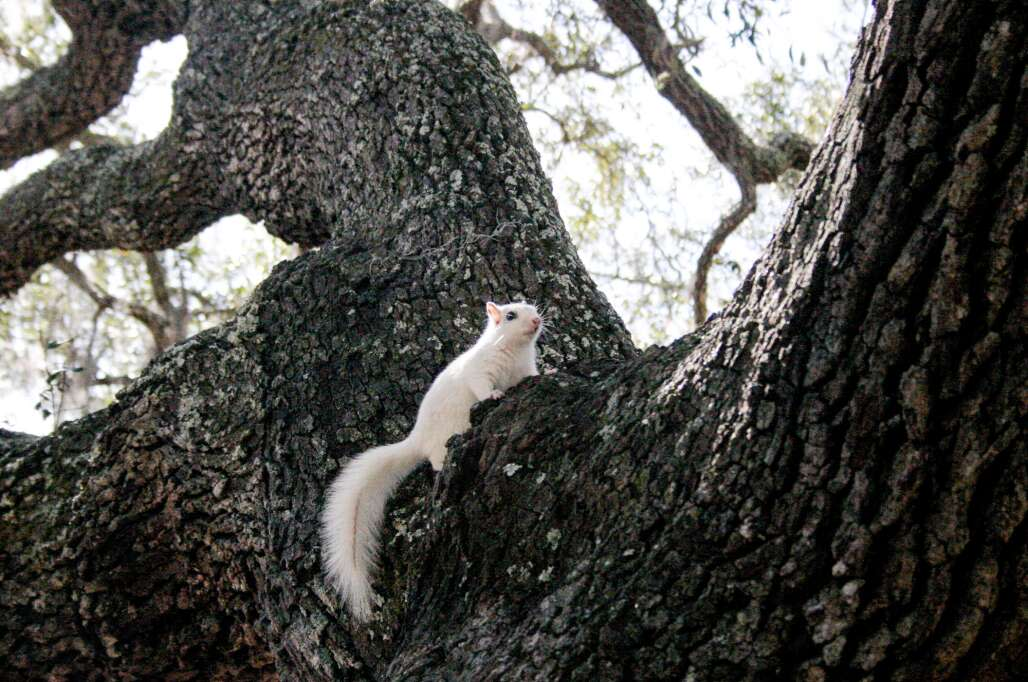 White squirrel at the Ocklochonee River State Park in Florida.