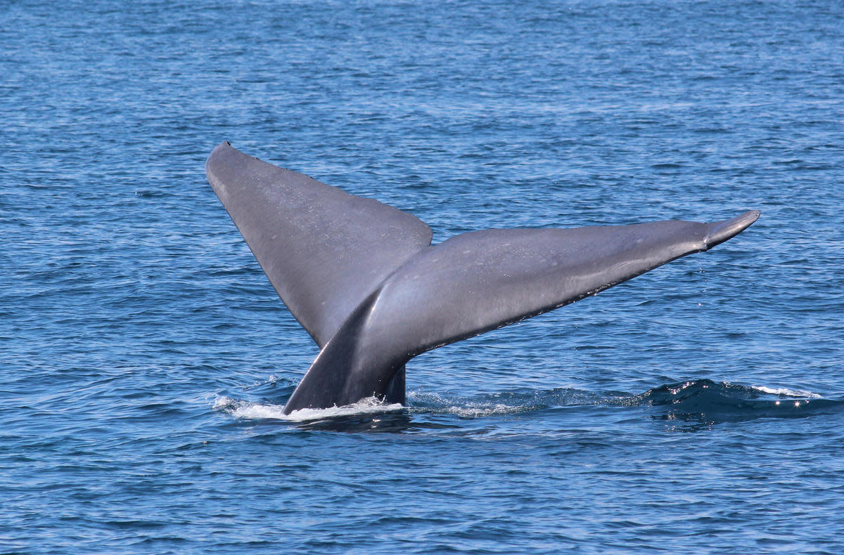 Blue Whale Photo by Tom Benson via Flickr Creative Commons