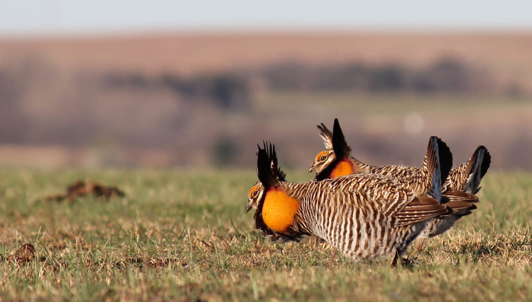 The greater prairie chicken was once plentiful, but is now rare.