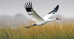 Whooping Crane Larry Ditto 310