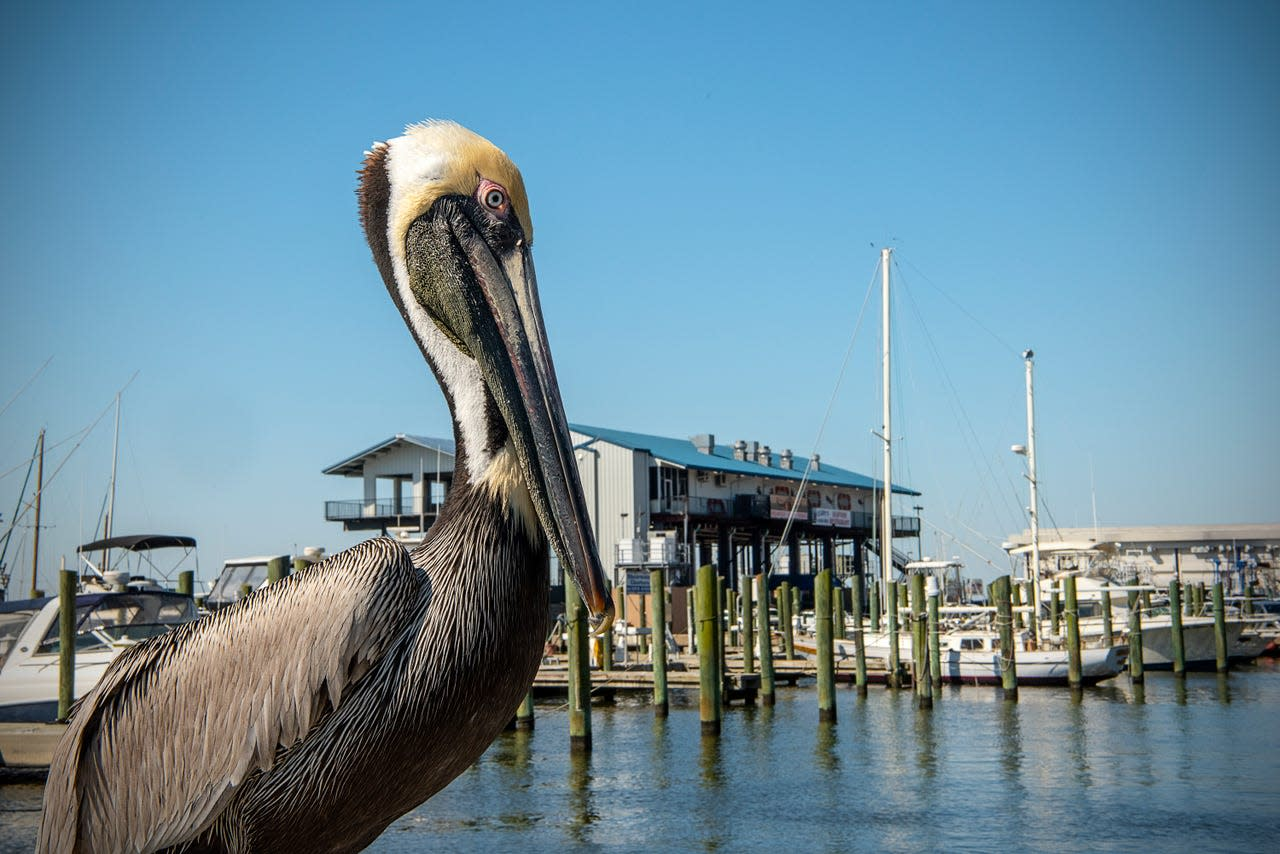 A pelican roosts near the shore at Small Craft Harbor in Biloxi, where fishing is king. Visitors can cast a rod from a pier or charter a boat for some deep-sea fishing, allowing a captain to handle licensing, bait and tackle.