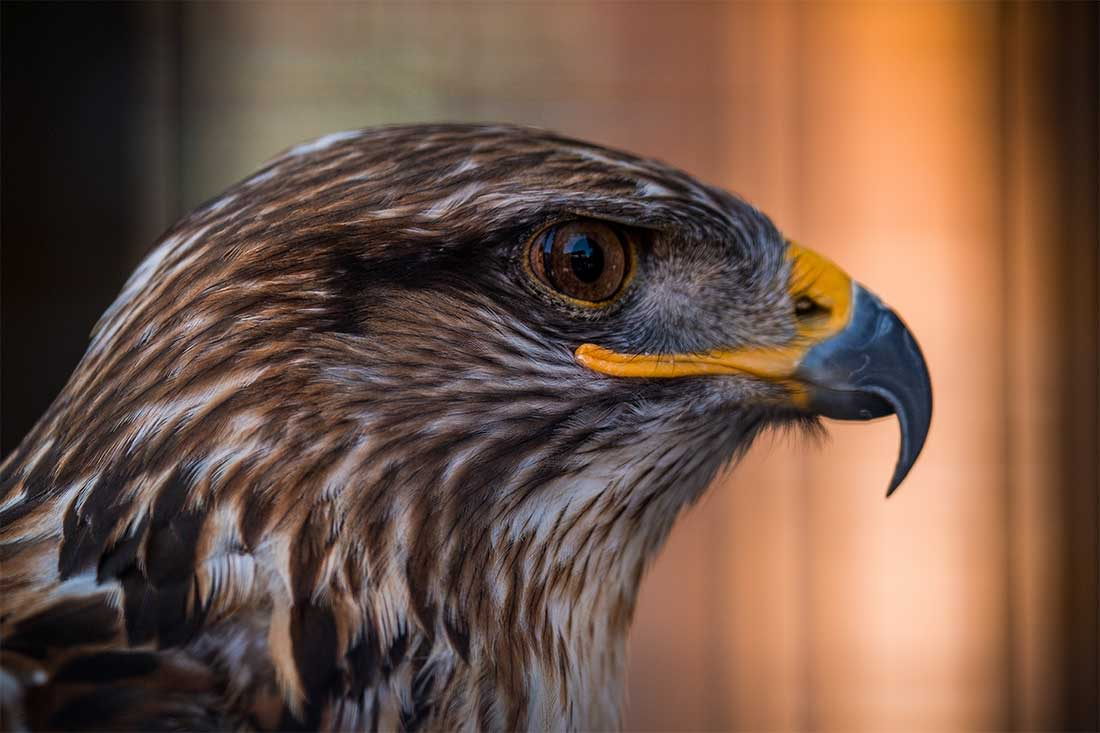 A close-up photograph of a raptor at the Raptor Woodland Refuge at Fontenelle Forest near Omaha, Nebraska
