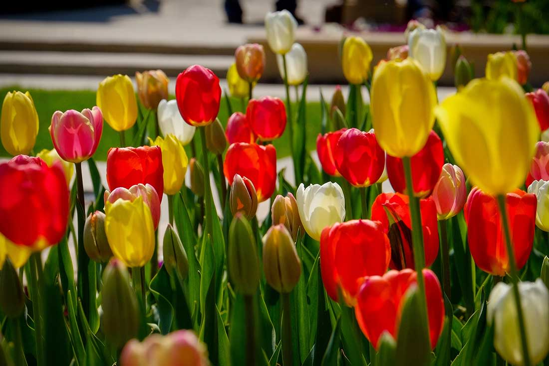 A close-up photograph of pink, white and yellow tulips at the Lauritzen Gardens in Omaha, Nebraska