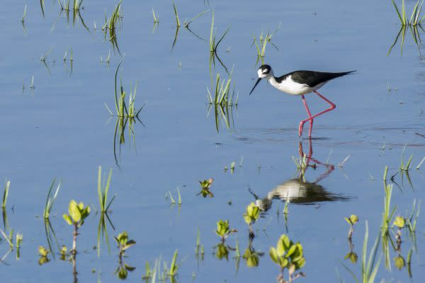 Bird stands in water in San Joaquin Marsh