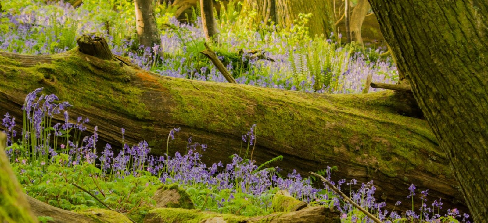 Bluebells at Thorncombe Wood near Dorchester, Dorset. Photo credit to Ian Metcalfe.
