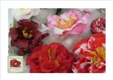 81st Annual Camellia Flower Show, UWF Camellia Garden Tour & Plant Sale
