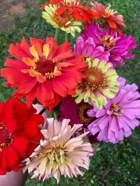 Zinnias from the farm