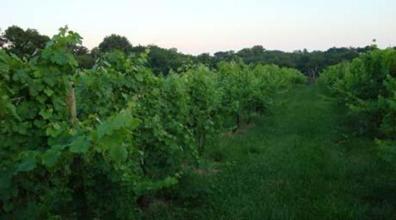 112042_5067_Zephaniah Farm Vineyard 2.JPG