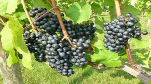 146043_5042_North Gate Grapes.jpg