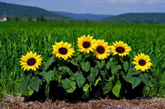 Virts Family Farms View with Sunflowers