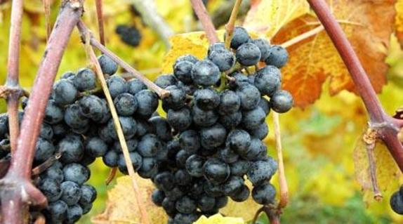 35759_4995_Chrysalis grapes.jpg