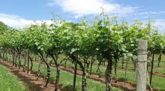 44267_4602_village winery vines 2.JPG