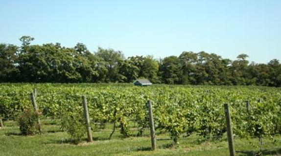 96203_5027_Hiddencroft vineyard.JPG