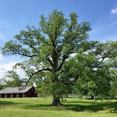 gforever farm our mighty oak