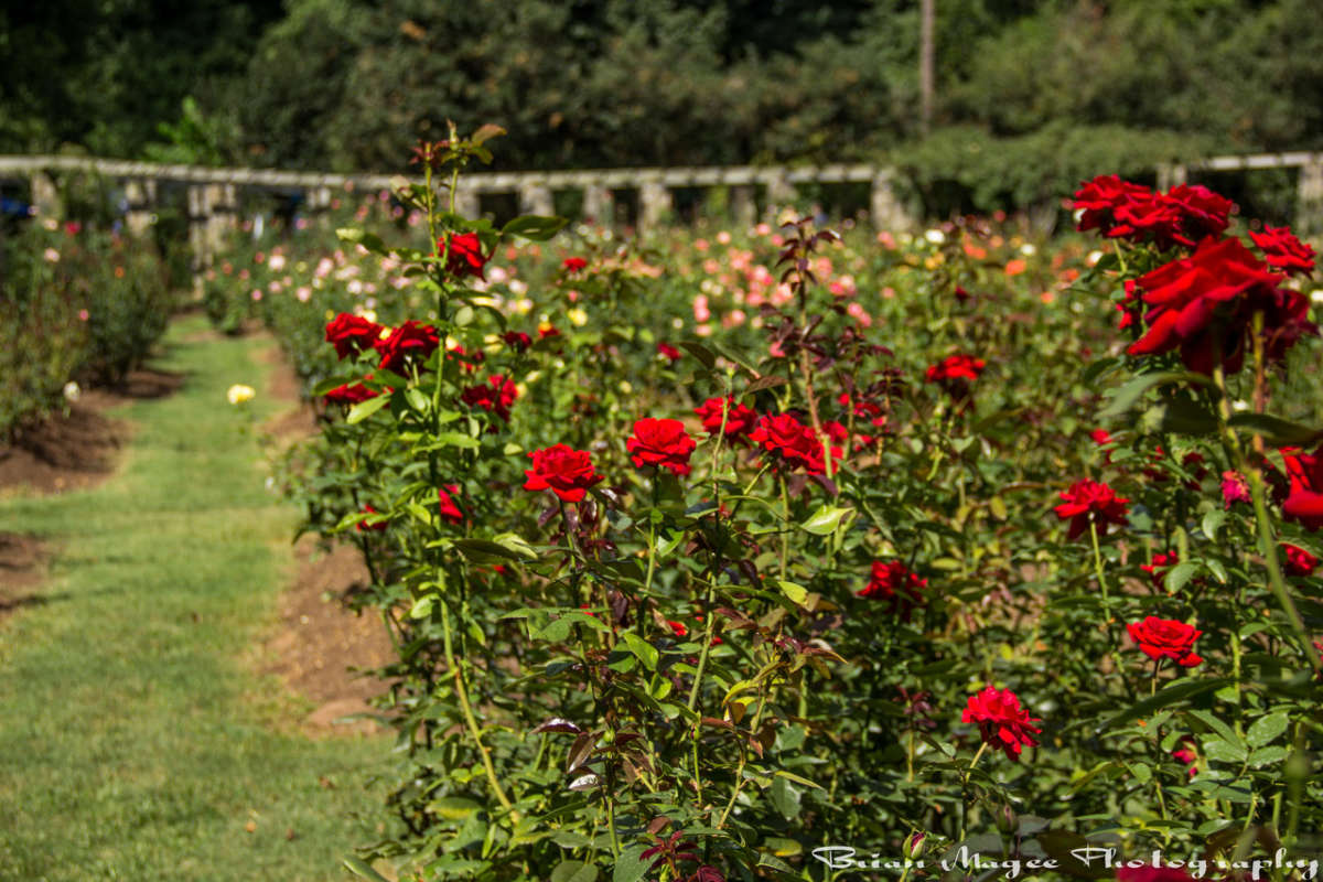 Roses In Garden: Raleigh Municipal Rose Garden