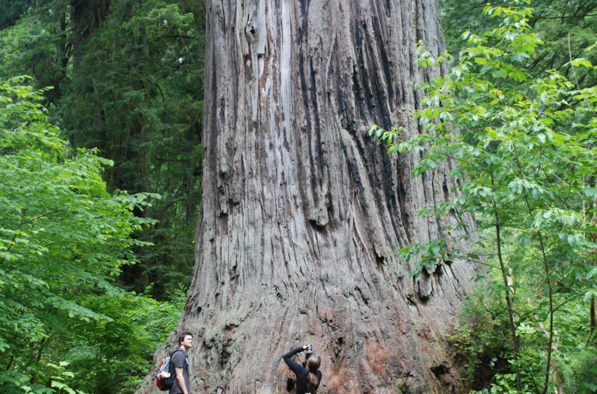 Ten Must See Redwood Trees California Giant Redwoods Map on