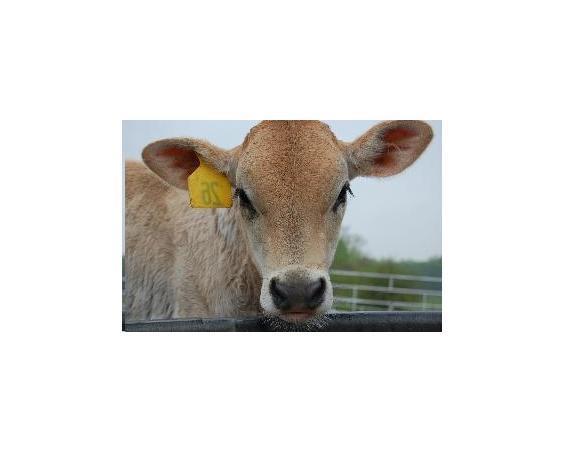 creamery cow