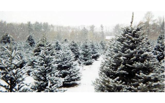Homestead Pine Tree Farm