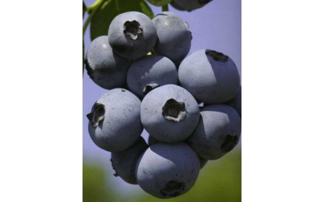 Martin Acres Blueberries