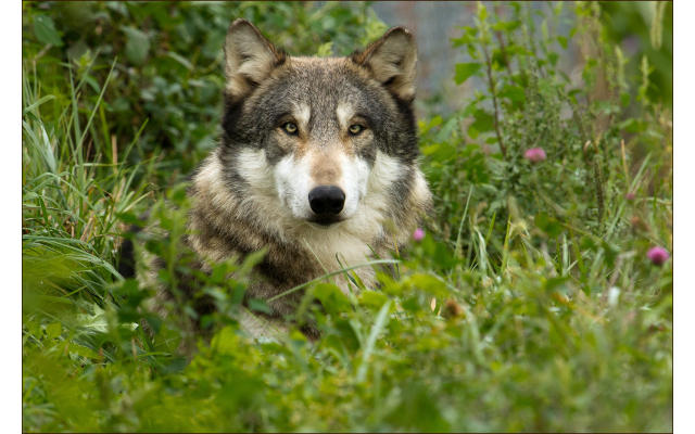 Wolf Park Spring