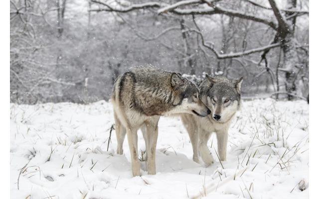 Wolf Park Winter