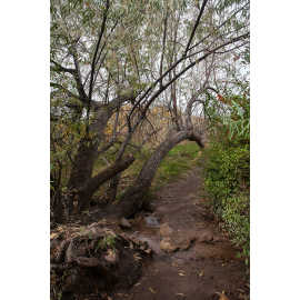 Russian Olive tree where the trail crosses a stream, photo by John Badila