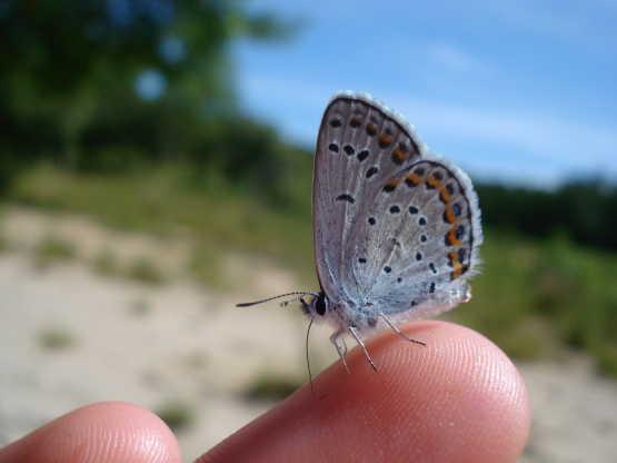 Albany Pine Bush butterfly on finger