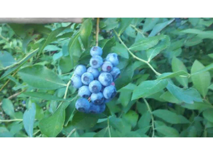 Carter Blueberry Farm