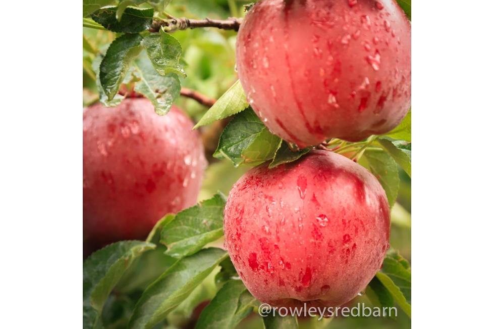Rowley's Red Barn Apples