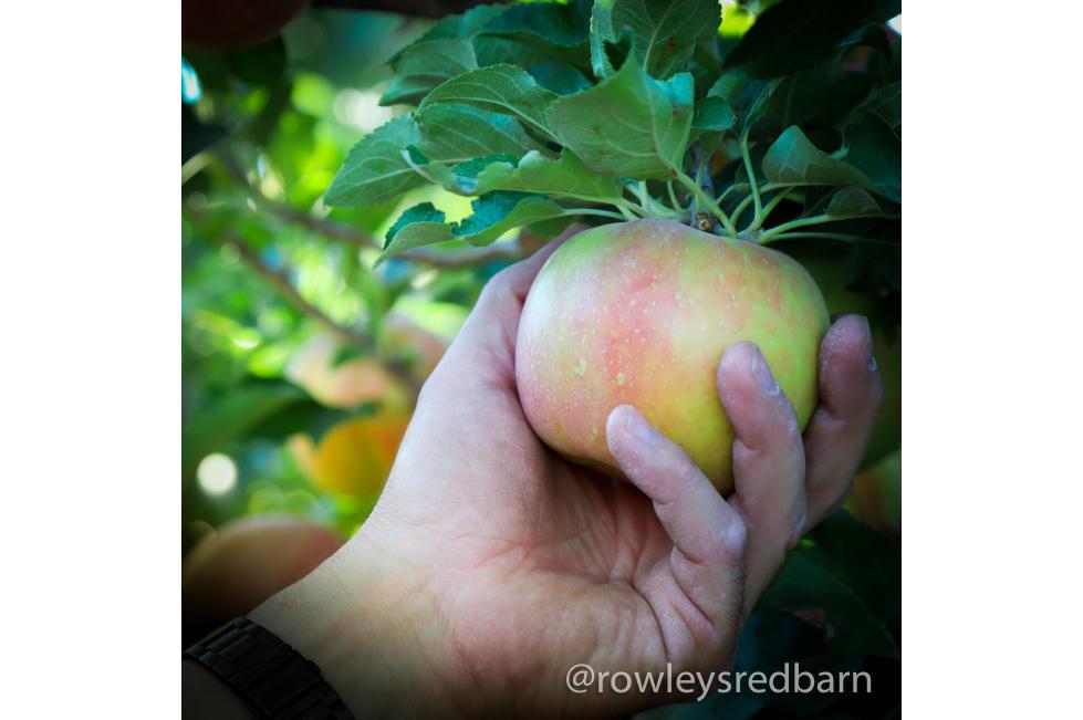 Rowley's Red Barn U-Pick Apples