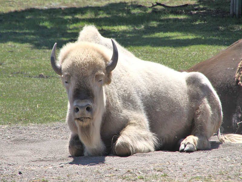 Blizzard, the white buffalo