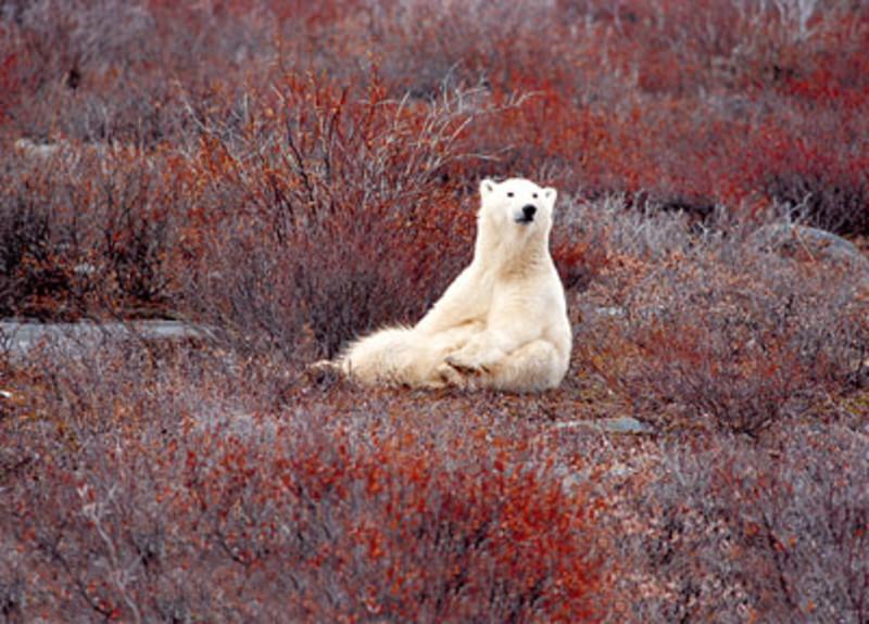 Get up close to a polar bear