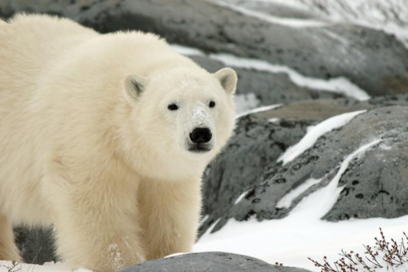 Adventures with polar bears