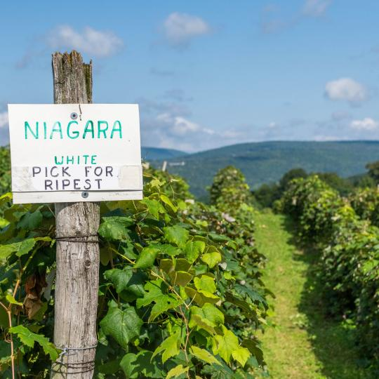 U-Pick Niagara Grapes in Naples