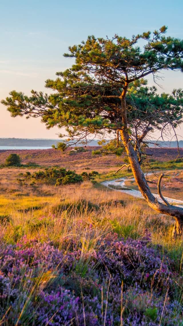 Tree and heathland at Godlingston Heath Studland