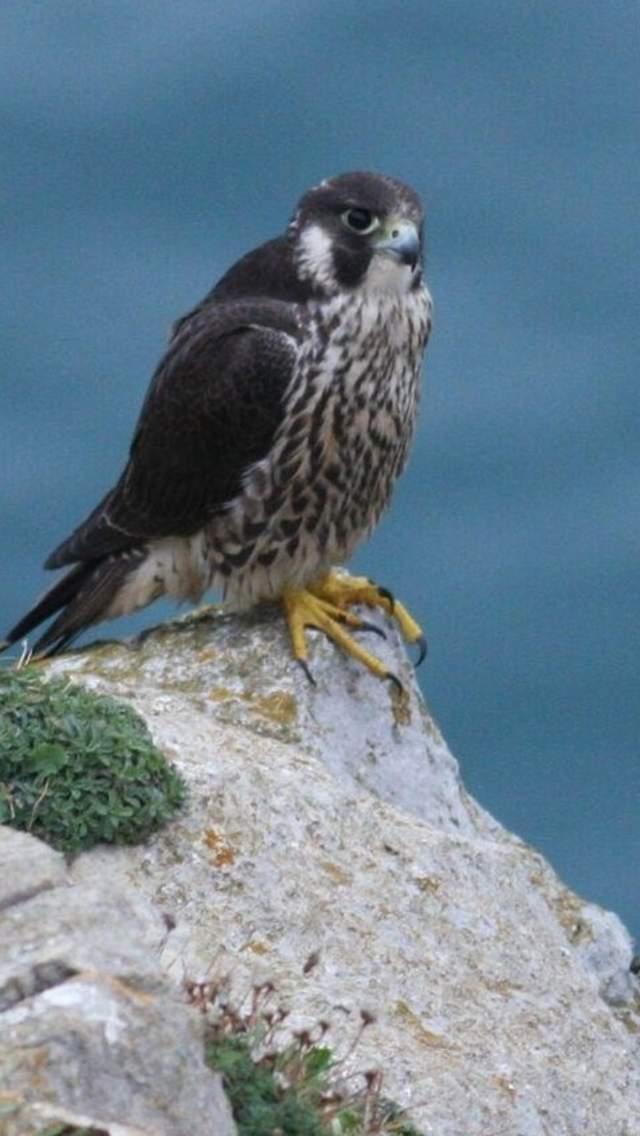 Peregrine Falcon on coastal cliffs