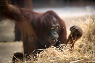 A baby orangutan plays with straw