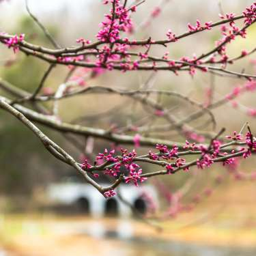 redbud blooms in front of a cave