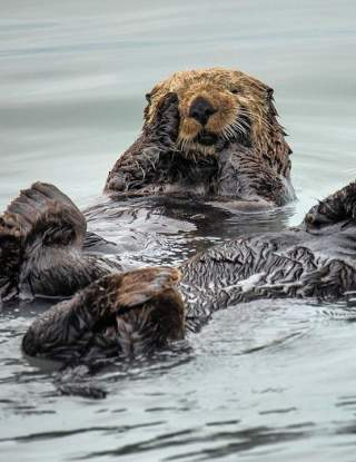 Otters floating