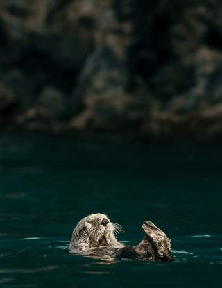 An otter floats near Fox Island