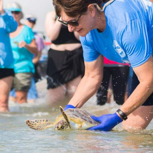 A woman in a blue shirt and gloves holds a sea turtle halfway into the water while a crowd watches in the background