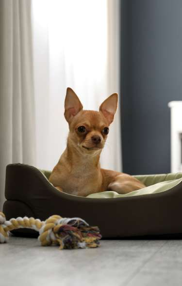 A chihuahua lays in a dog bed on the floor of a hotel room.