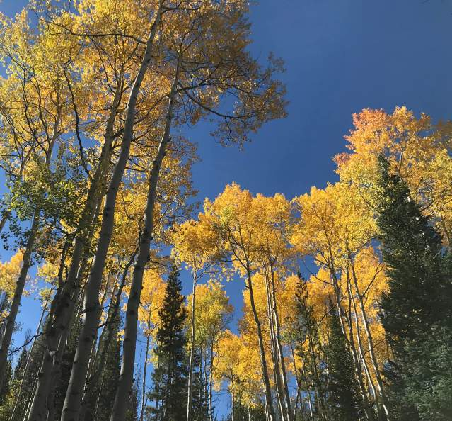 Upward view of aspen trees in the fall