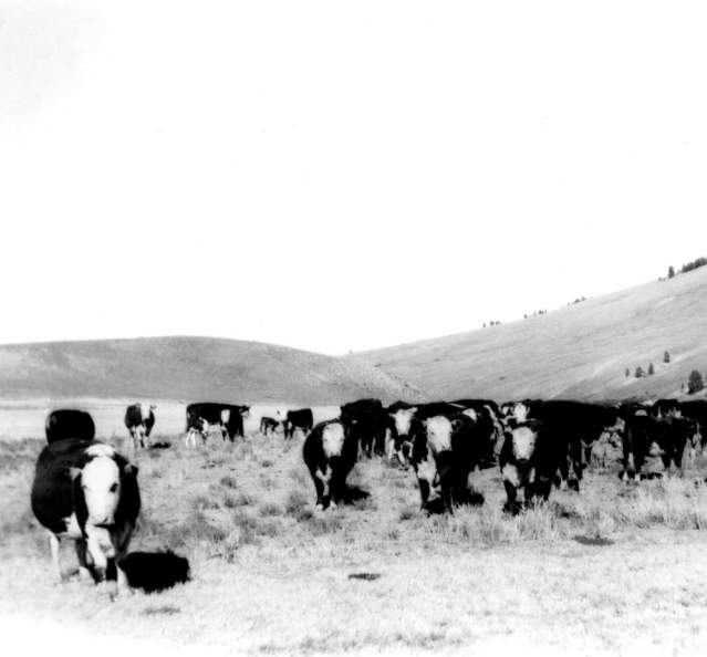 Historic photo of cows in a pasture