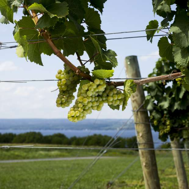 Riesling vines at Boundary Breaks with lake in background