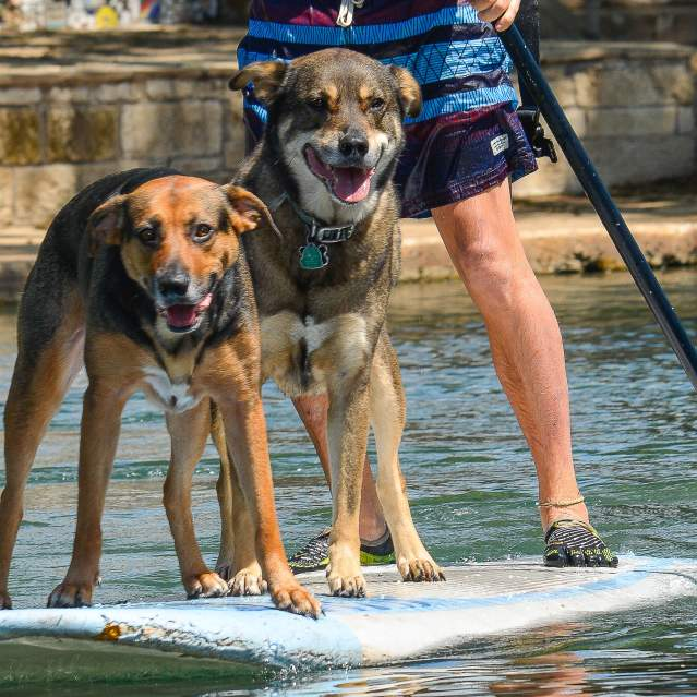 Two dogs on stand up paddleboard