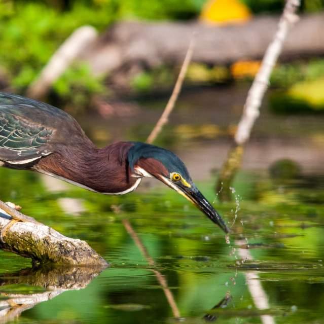 Heron at river