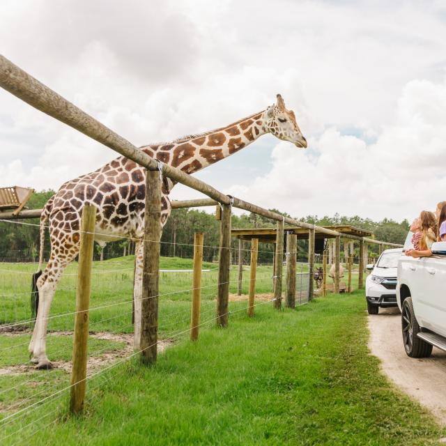 Cars driving by a giraffe at Wild Florida Airboats and Gator Park