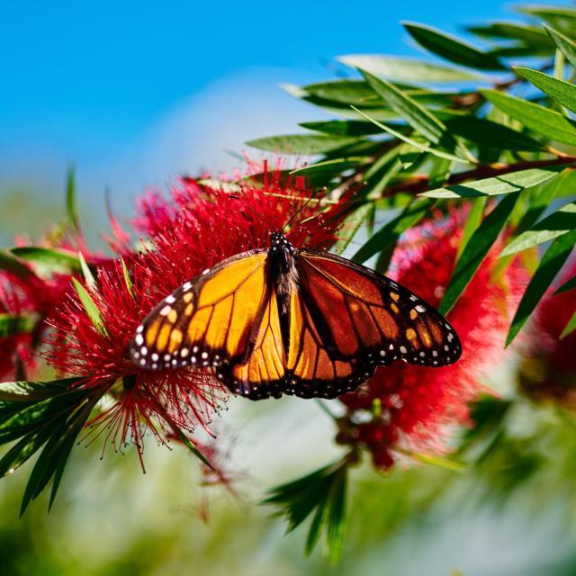 A butterfly on a flower at Harry P. Leu Gardens